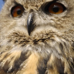 Owl, Ireland